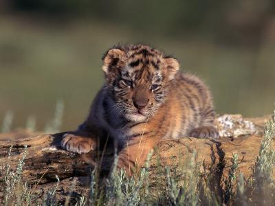 Siberian Tiger Cub, Panthera Tigris Altaica-D^ Robert Franz-Photographic Print