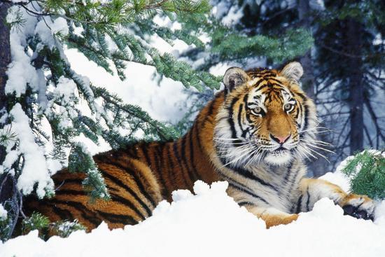 Siberian Tiger Endangered Species--Photographic Print