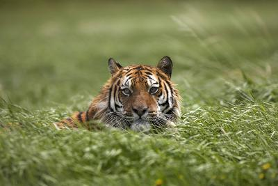 Siberian Tiger Hiding in the Grass. Montana, Usa-Tim Fitzharris-Photographic Print
