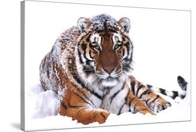 Siberian Tiger (In Snow) Art Poster Print