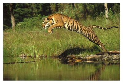 Siberian Tiger leaping across river, Asia-Tim Fitzharris-Art Print