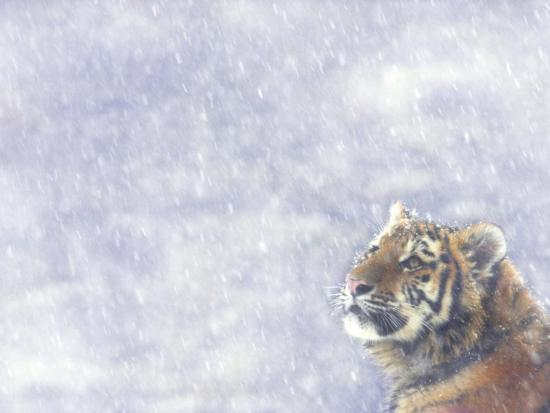 Siberian Tiger Looking Up in Snow-Edwin Giesbers-Photographic Print