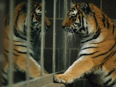Siberian Tiger Looks at Its Reflection in a Mirror-Joel Sartore-Photographic Print