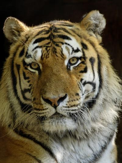 Siberian Tiger Male Portrait, Iucn Red List of Endangered Species-Eric Baccega-Photographic Print
