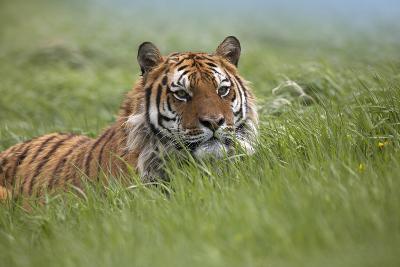 Siberian Tiger. Montana, Usa-Tim Fitzharris-Photographic Print