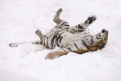 Siberian Tiger, Panthera Tigris Altaica, Female Rolls in the Snow-Andreas Keil-Photographic Print