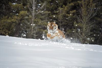 Siberian Tiger (Panthera Tigris Altaica), Montana, United States of America, North America-Janette Hil-Photographic Print