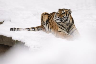 Siberian Tiger, Panthera Tigris Altaica, Subadult Lies in the Snow-Andreas Keil-Photographic Print
