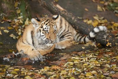 Siberian Tiger, Panthera Tigris Altaica, Young Animal, Side View, Lying, Looking at Camera-David & Micha Sheldon-Photographic Print