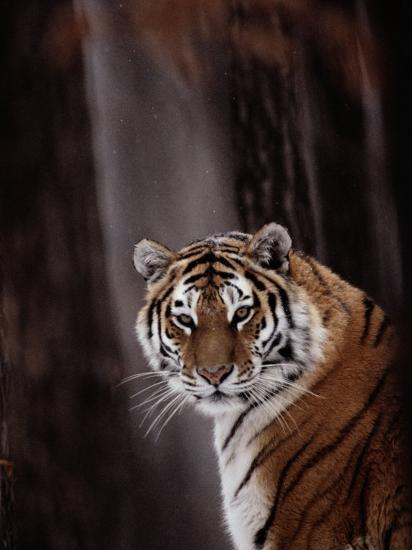 Siberian Tiger (Panthera Tigris Altaica)-Dr^ Maurice G^ Hornocker-Photographic Print
