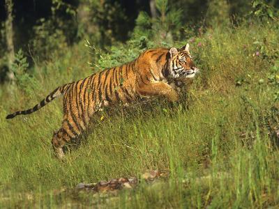 Siberian Tiger Running. Montana, Usa-Tim Fitzharris-Photographic Print