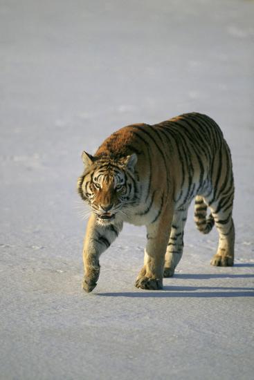 Siberian Tiger Walking on Snow-DLILLC-Photographic Print