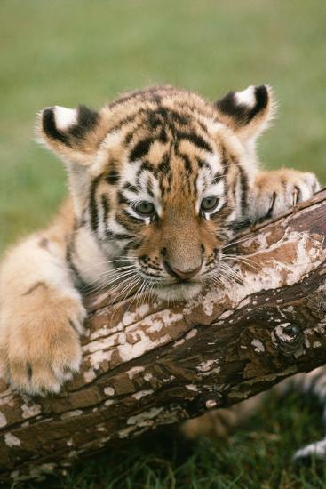 Siberian Tiger--Photographic Print