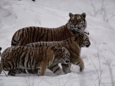 Siberian Tigers (Panthera Tigris Altaica) in the Snow-Michael Nichols-Photographic Print