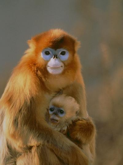 Sichuan Golden Monkey and Baby-DLILLC-Photographic Print