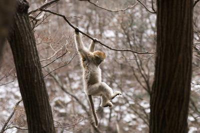 Sichuan Golden Snub-Nosed Monkey (Rhinopithecus Roxellana) Hanging Off Branch-Gavin Maxwell-Photographic Print