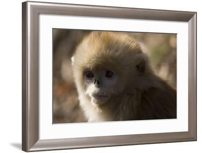 Sichuan Golden Snub Nosed Monkey (Rhinopithecus Roxellana) Zhouzhe Reserve-Gavin Maxwell-Framed Photographic Print