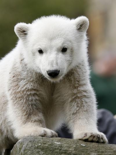 Sick Polar Bear Cub, Berlin, Germany-Michael Sohn-Photographic Print