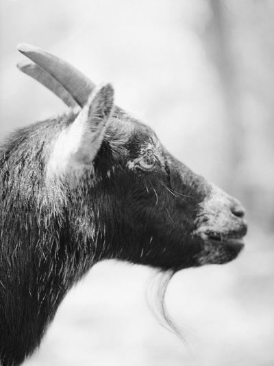 Side of a Goat's Head-Henry Horenstein-Photographic Print