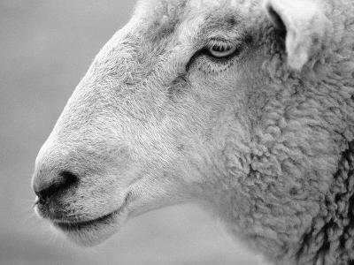 Side of Sheep's Face-Henry Horenstein-Photographic Print