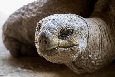 Side Portrait of Native Aldabra Giant Tortoise during Summer in Nature Reserve Ile Aux Aigrettes On-Mr Lemon-Photographic Print