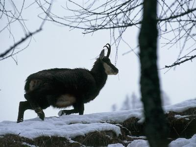 Side Profile of a Chamois Running, Gran Paradiso National Park, Valle D'Aosta, Italy-F^ Liverani-Photographic Print