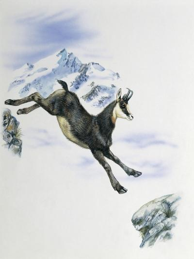 Side Profile of a Male Chamois Jumping on Rocks (Rupicapra Rupicapra)--Giclee Print