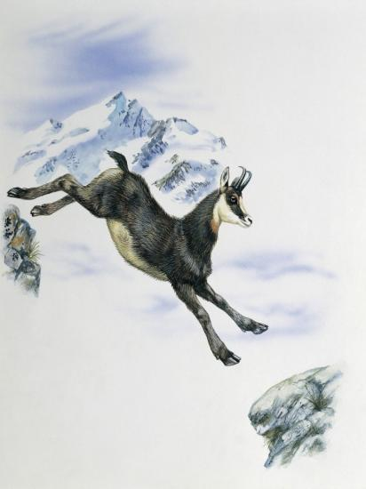 Side Profile of a Male Chamois Jumping on Rocks (Rupicapra Rupicapra)--Photographic Print