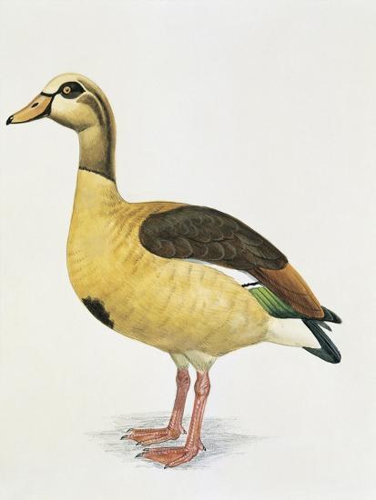 Side Profile of an Egyptian Goose (Alopochen Aegyptiacus)--Giclee Print