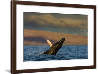 Side View of a Humpback Whale Breaching in the Pacific Ocean-Ralph Lee Hopkins-Framed Photographic Print