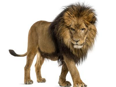 Side View of a Lion Walking, Looking Down, Panthera Leo ... - photo#10