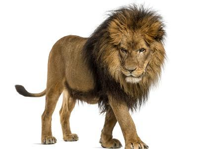 Side View of a Lion Walking, Looking Down, Panthera Leo, 10 Years Old, Isolated on White-Life on White-Photographic Print