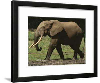Side View of an Adult Forest Elephant Walking-Michael Fay-Framed Photographic Print