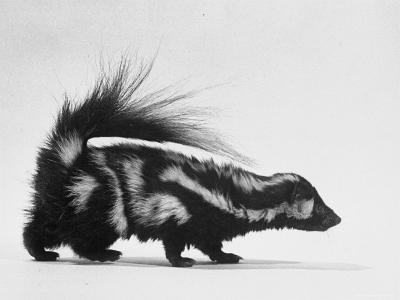 Side View of Skunk-Loomis Dean-Photographic Print