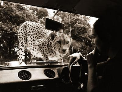 Sikuku the Cheetah Peers into a Car at Woburn Wild Animal Kingdom Bedfordshire, July 1970--Photographic Print