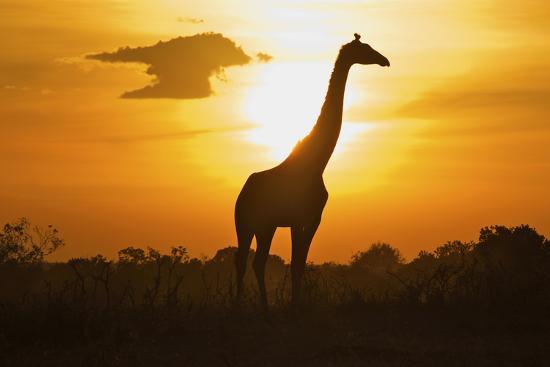 Silhouette Giraffe at Sunset-Joost Notten-Photographic Print