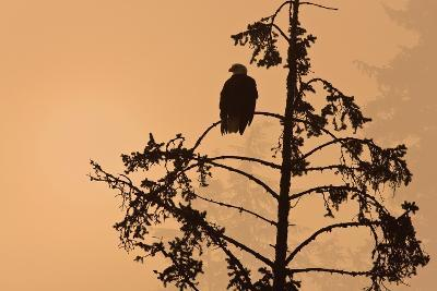 Silhouette of a Bald Eagle Perched on a Tree at Sunset in the Mist of the Tongass National Forest-Design Pics Inc-Photographic Print