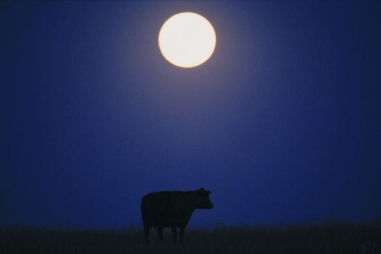 Silhouette of a Cow Against the Night Sky Below the Moon-Michael Forsberg-Photographic Print