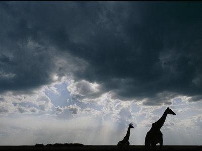 https://imgc.artprintimages.com/img/print/silhouette-of-a-female-reticulated-giraffe-and-her-young_u-l-p4el0d0.jpg?p=0
