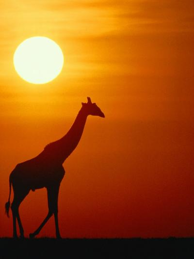 Silhouette of a Giraffe at Sunrise-Medford Taylor-Photographic Print