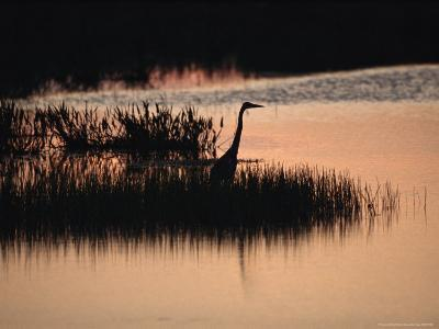 Silhouette of a Great Blue Heron, Ardea Herodias, at Sunset-Raymond Gehman-Photographic Print
