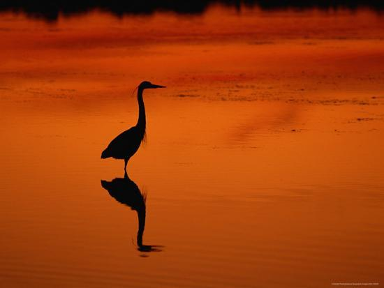 Silhouette of a Great Blue Heron Standing in the Water at Twilight-Norbert Rosing-Photographic Print