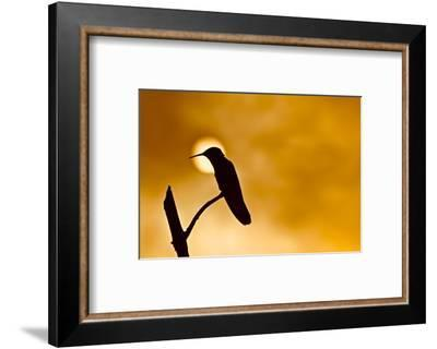 Silhouette of a hummingbird perched on a branch with the sun on the background.-Kike Calvo-Framed Photographic Print