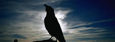 Silhouette of a Raven at Dusk, Yellowstone National Park, Wyoming, USA (Corvus Corax)--Photographic Print