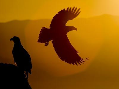 Silhouette of a Steller's Sea Eagle in Flight as the Sun Is Setting-Roy Toft-Photographic Print
