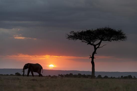 Silhouette of an African Elephants, Loxodonta Africana, Walking at Sunset-Sergio Pitamitz-Photographic Print