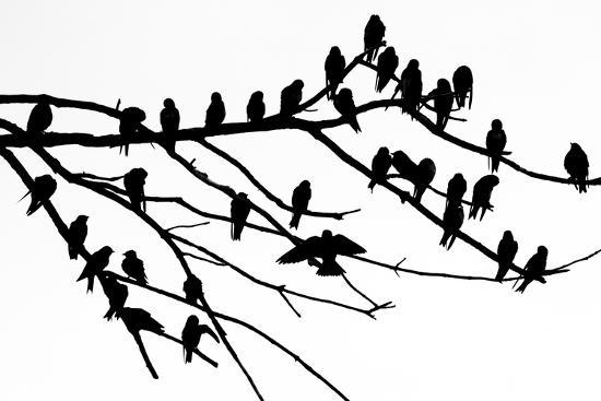 Silhouette of Birds Perched on the Branches of a Dead Tree Above the Occoquan River-Kent Kobersteen-Photographic Print