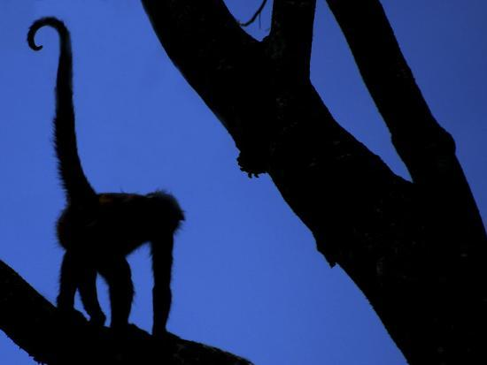 Silhouette of Black-Handed Spider Monkey Standing in Tree, Costa Rica-Edwin Giesbers-Photographic Print