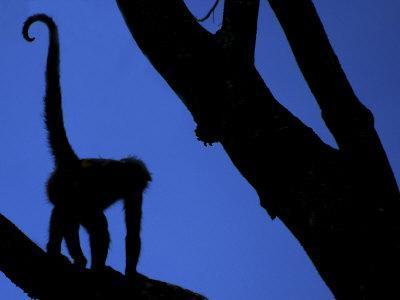 https://imgc.artprintimages.com/img/print/silhouette-of-black-handed-spider-monkey-standing-in-tree-costa-rica_u-l-q10o2cd0.jpg?p=0
