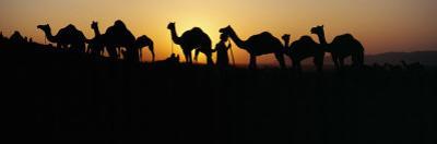 Silhouette of Camels in a Desert, Pushkar Camel Fair, Pushkar, Rajasthan, India